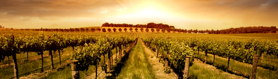 Vineyard_sunset